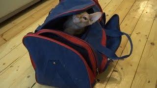 Funny Sphynx cat Casper inspects the bag for travel