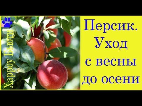 Вопрос: Почему в ( на ) Украине хорошо растут персики?