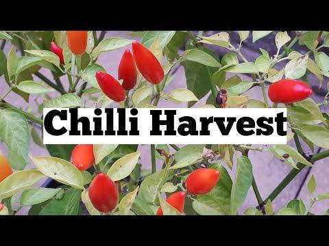 Chilli harvest time – allotment growing   shokher bagan. Bangladeshi fruit and vegetables.