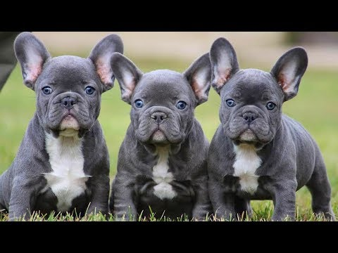 FRENCH BULLDOGS! Cute and Funny French Bulldogs doing funny things # 15 |Cute Pets