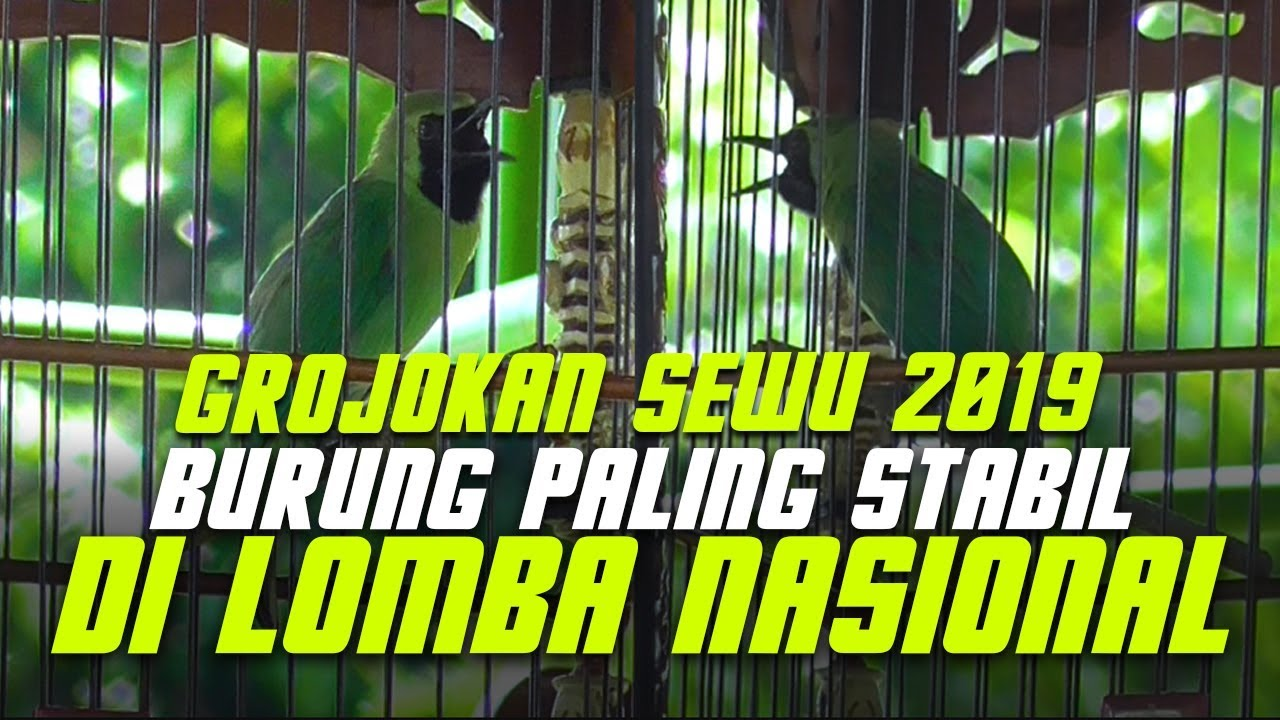 Grojokan Sewu 2019 Burung Cucak Ijo Paling Stabil Di Lomba Nasional Youtube