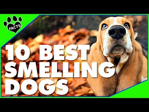 TopTenz:  Dogs with Exceptional Sense of Smell Dogs 101 – Animal Facts
