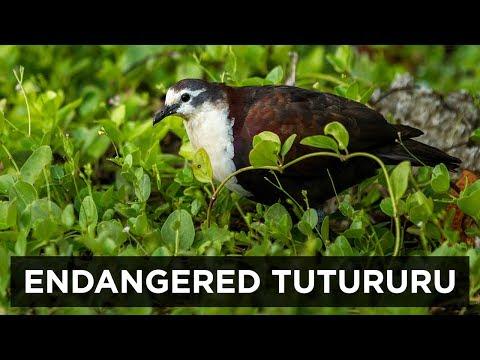 Operation Acteon & Gambier, French Polynesia. The Tutururu