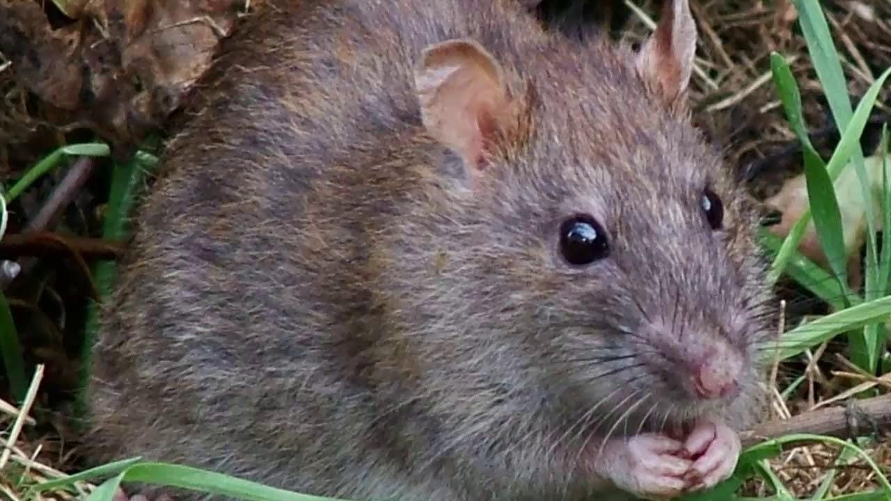 Hình Ảnh Con Chuôt Và Âm Thanh Con Chuột. Mouse Sound