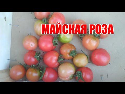 26 июля. Мой любимчик томат Майская роза.