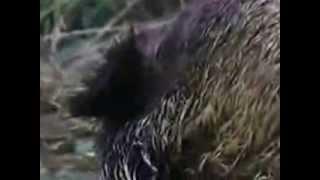 Волки   охота на кабанов!!!