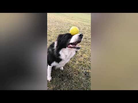 50 dog tricks by Border collie Keisy - 3 years