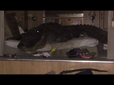 Download Youtube: Massive Gator Takes Shelter On a Bed During Hurricane Harvey