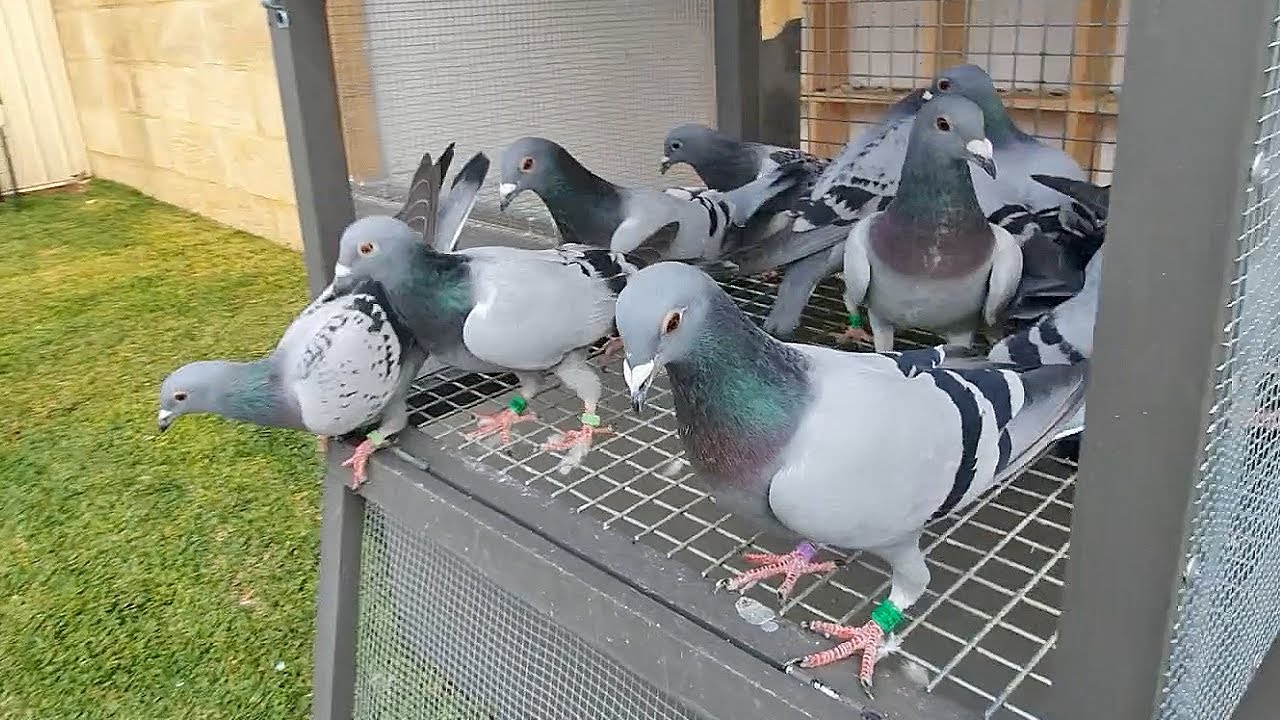 Download Pigeons Are Finally Flying GOOD