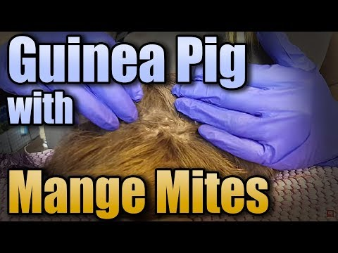 Guinea Pig With Mange Mites