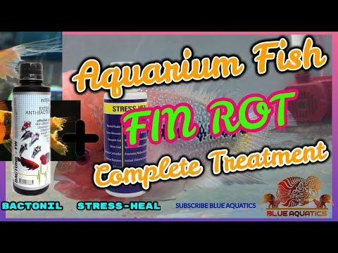 Flowerhorn Fish Fin Rot Complete Treatment    How To Treat Fin Rot Of Aquarium Fish