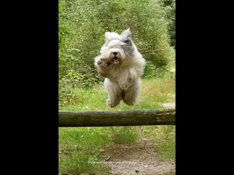 animals Old English Sheepdog Dog