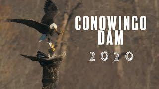 Conowingo Dam Bald Eagles 2020