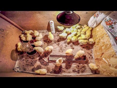 Выращивание бройлеров в Домашних Условиях Чем кормить цыплят бройлеров - ZOLOTYERUKI