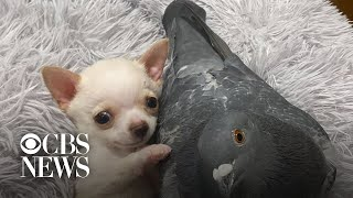 Special-needs puppy and pigeon who can't fly form unlikely friendship