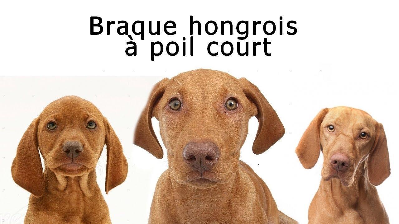 Chien de race braque hongrois poil court youtube - Braque hongrois a poil court ...