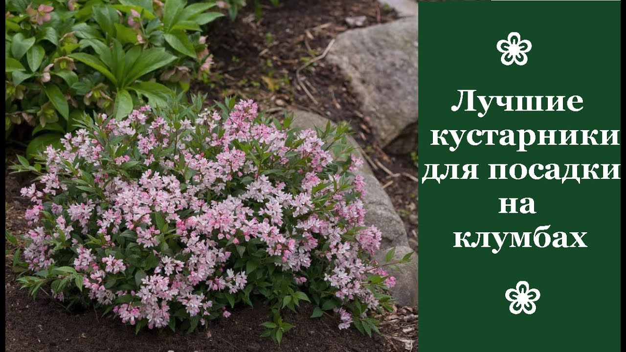 ❀ Лучшие кустарники для посадки на клумбах: обзор, выращивание и уход