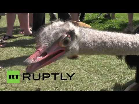 Netherlands: Taxidermists defy nature with flying ostrich