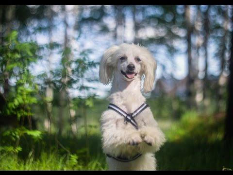 50 DOG-TRICKS /Chinese crested Vixie/