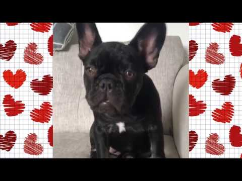 FRENCH BULLDOGS VIDEO COMPILATION #10