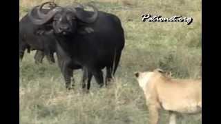 百獣の王と言われているライオンが、バッファローに追われる。 本当に強...