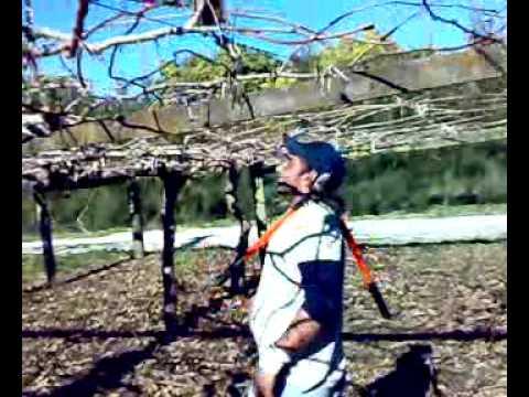Kiwi Pruning Youtube