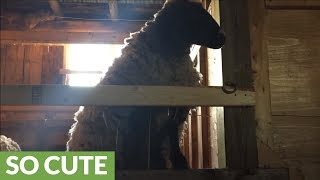 Rescue sheep cries when separated from owner