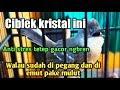 Ciblek Kristal Gacor Ngebren Sangat Jinak Dan Anti Stres  Mp3 - Mp4 Download