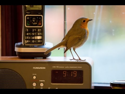 Robin pops into granny's home every day for breakfast