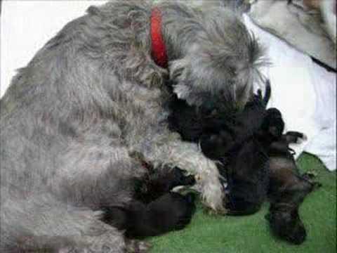 Cachorros Schnauzer recien nacidos - YouTube