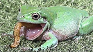 미꾸라지 먹는 대형청개구리! 사냥의 명수 '로로'