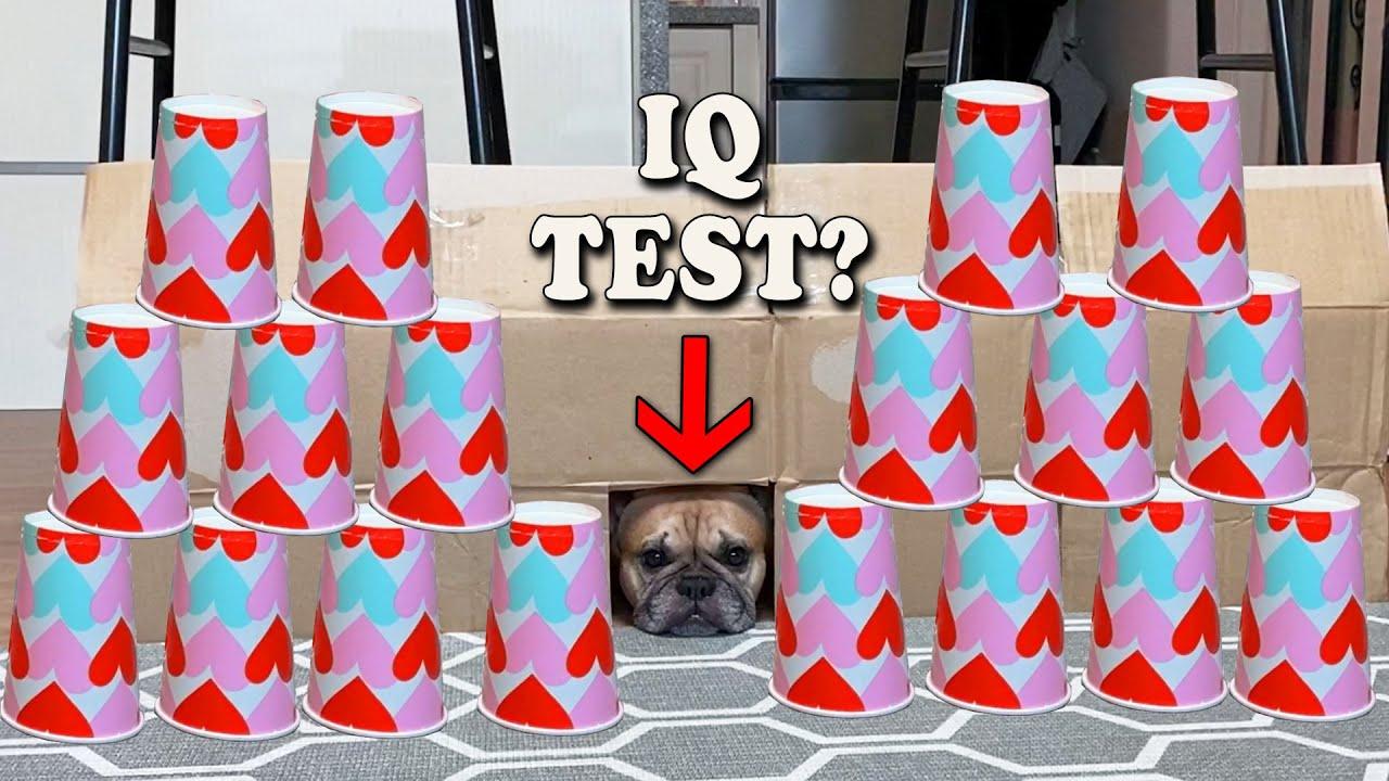 Testing my French  Bulldog's Intelligence | Ultimate IQ Test