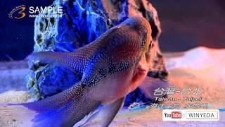 Full HD 1080p 美的因 水世界  海洋生物 熱帶魚 水族箱 觀賞魚 (11)  ky0215