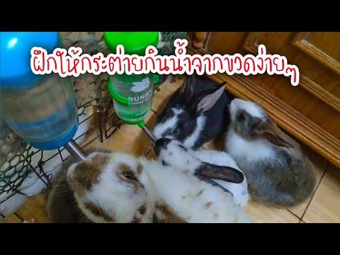 วิธีทำให้กระต่ายกินน้ำจากขวด