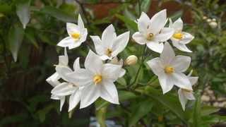 SOLANO: Solanum laxum (http://www.riomoros.com)