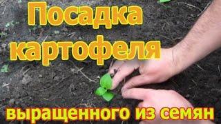 Посадка картофеля выращенного из семян в открытый грунт (укр.)