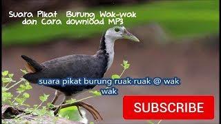 Suara Memikat Burung Wak wak Dan Cara Download MP3