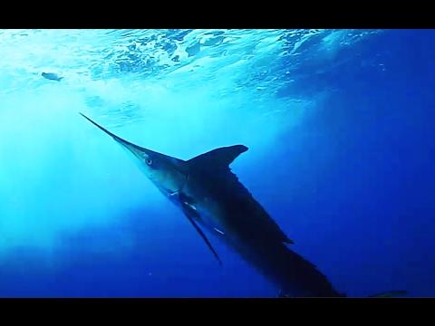 White Marlin bite -underwater camera- / Attacco Marlin ...