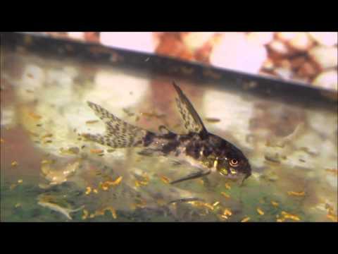 Смотреть онлайн Как сделать подсветку для аквариума светодиодной лентой