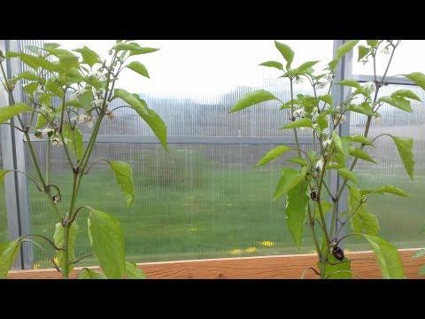 Ранний урожай перцев. Высадка взрослой рассады