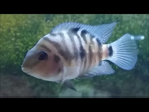 How to tell convict cichlid gender. convict cichild spawning and breeding behaviour