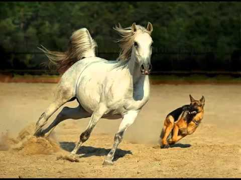 Arabian horse set of picture collection of horses youtube - Arabian horse pictures ...