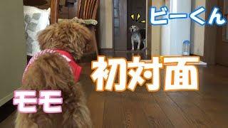 親戚のお家のビーグル犬のビー君に会わせてみました。 よろしければチャ...