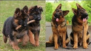 funniest German Shepherd compilation video and try not to laugh🤣