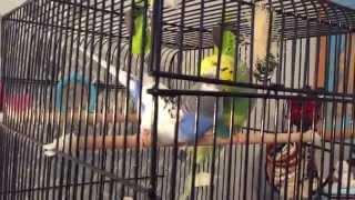 Волнистые Попугайчики Спариваются BUDGIES mating# Спаривание Волнистых 18+ :)