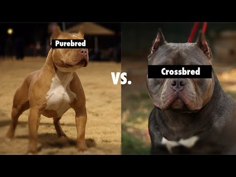 Purebred Vs. Cross Bred Vs. Mixed Breeds