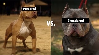Purebred vs. Cross Bred vs. Mixed breeds(Ever wonder what makes purebred dogs so special? Well in this video I talked about the difference and what it matters in your dog's bloodline., 2014-01-04T13:31:04.000Z)
