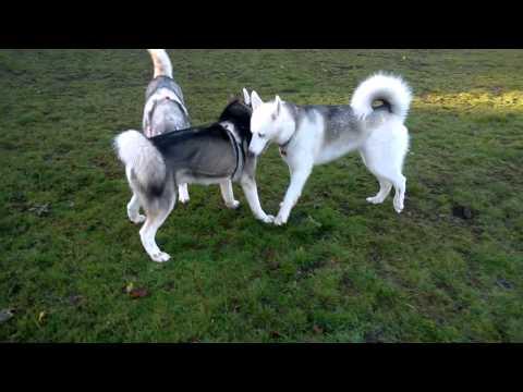 Husky Land Glasgow
