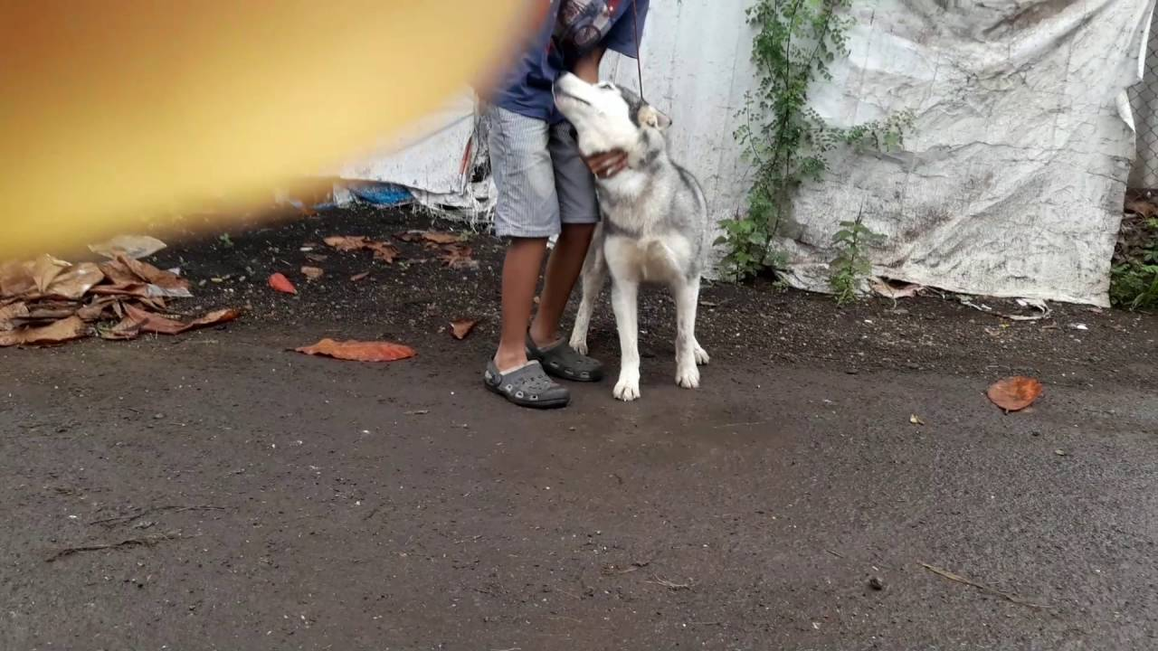 Siberyan Husky Adult Female For Sale In Pune Youtube