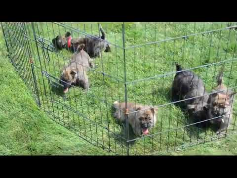 Cairn Terrier Puppies For Sale